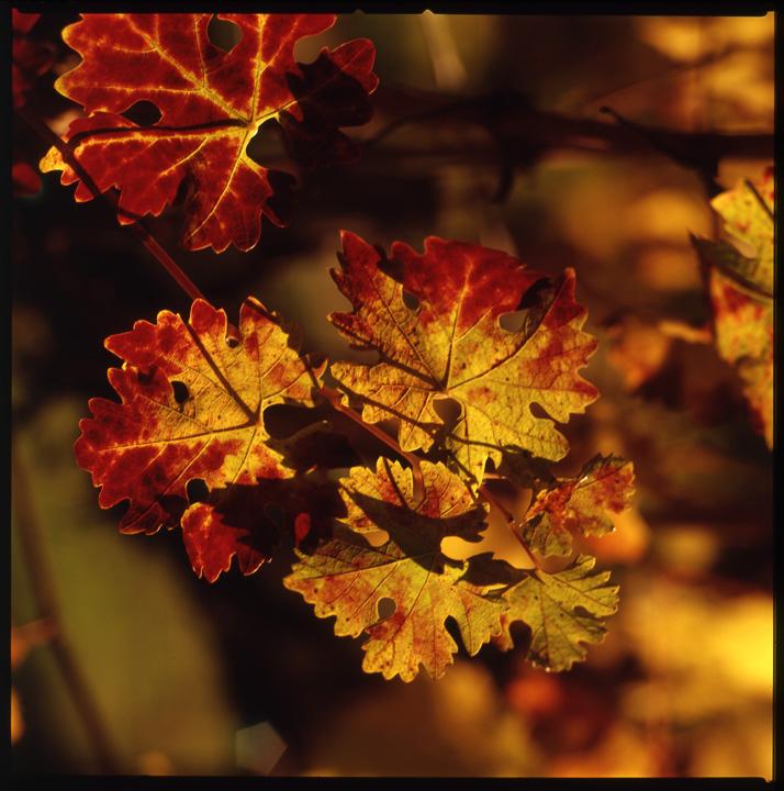 Vine_Leaf_Sunset copy (1) copy