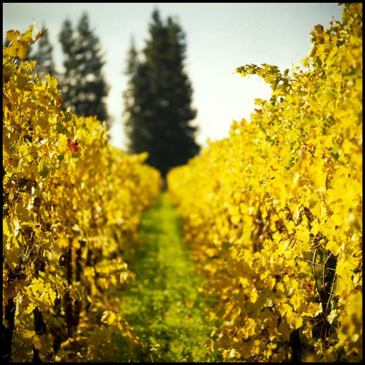 Vineyard_Fall_Row_Yellow copy_1
